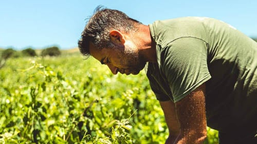 Older-man-working-as-a-fruit-picker-cannot-bear-returning-to-work-after-a-personal-injury